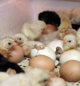 Продажа инк.яйца КОББ-500(ЧЕХИЯ)