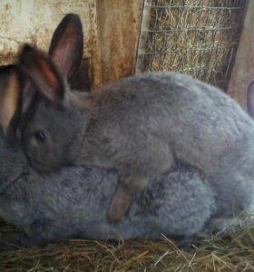 Молодые кролы-самцы