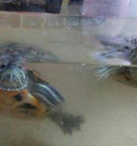 Черепахи (водяные)