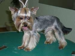 Стрижка собак, груминг триминг