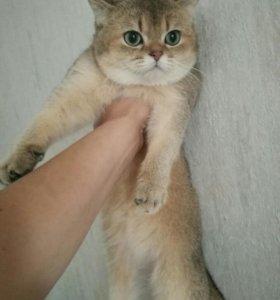 Британский кот 5 мес