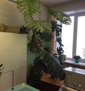 """Растение """" Монстера"""""""