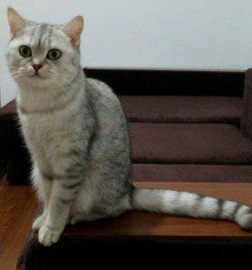 Кошка породы Скоттиш страйд