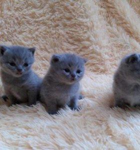 Продам Британских голуб.плюшевых котят! 9539074546