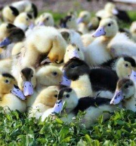 Цыплят, гусята,утята