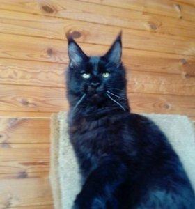 Чёрная кошка мейн кун