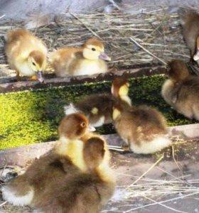 Цыплята, Гусята,Утята
