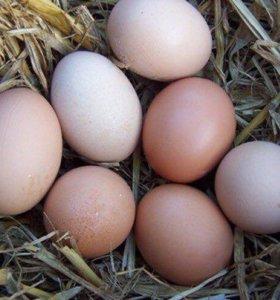 Куриные яйца домашние