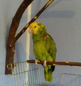 Амазон желтоголовый (oratrix)