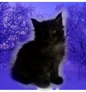 Котята породы Мейн-Кун с документами