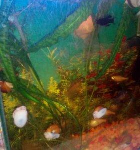 Рыбки желтые улитки
