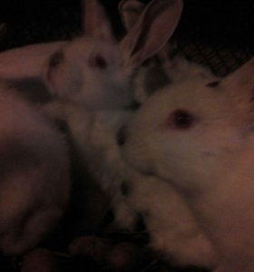 """Кролики 1,5 мес.""""Калифорнийцы"""""""