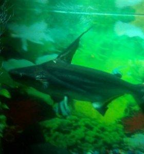 Пангасиус (акулий сом)