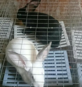 Кролики Калифорния, серебро.