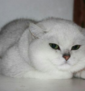 Вязка кот серебристая шиншилла