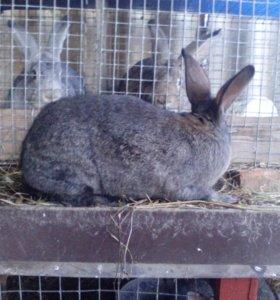 Кролики оптом