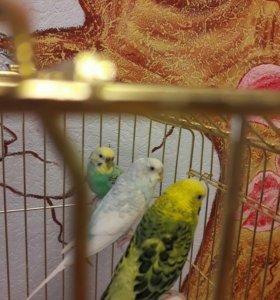 Срочно!!!Большая  клетка с 3 попугаями.