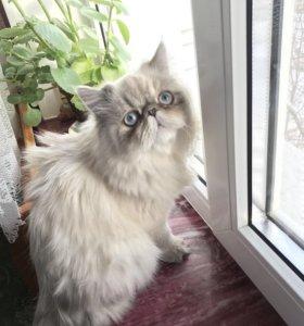 Персидский котёнок