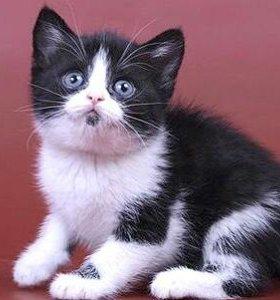 Плюшевые шотландские котятки