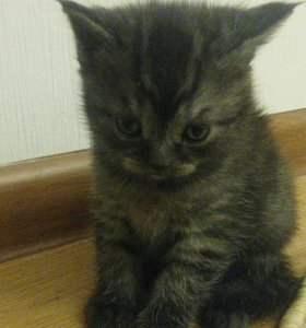 Кошечка. Британочка.