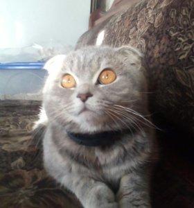 Кот шотландец(вязка)