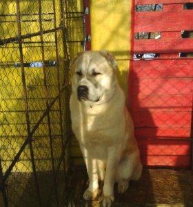 Вязка собака Алабай без документов