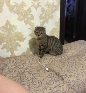 Котёнок мальчик вислоухий