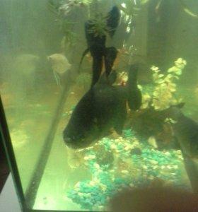 Рыба Пиранья Паку