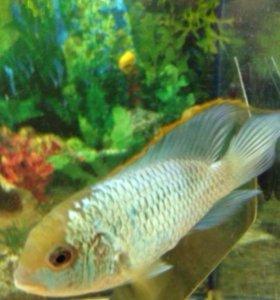 Рыбки наннакар