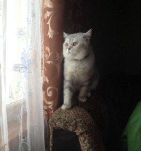 Котик- британец для вязки.
