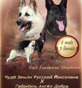 Щенки восточно европейской овчарки