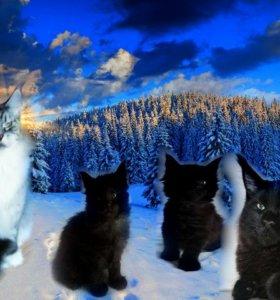 Котята Мейн-Кун от выставочных родителей