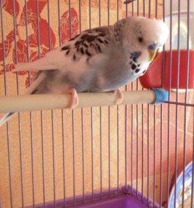 Продаётся попугай
