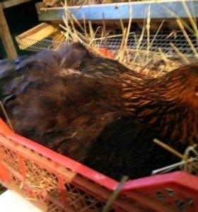 Курицы, перепела, птенцы, клетки