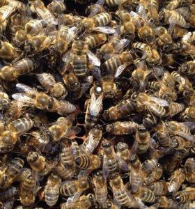 Пчеломатка карпатской породы линия 77