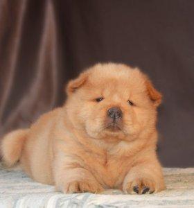 Замечательный щенок чау-чау