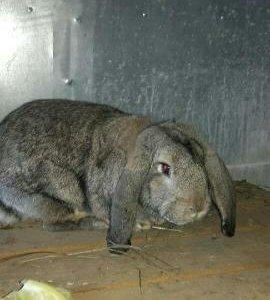 Продам кроликов(порода великан)