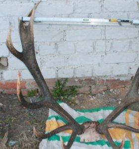 Большие рога оленя и медальон