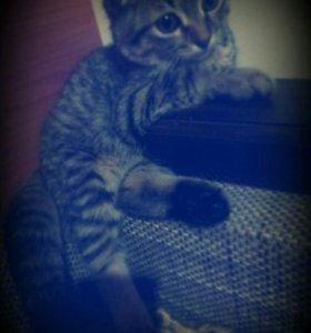 Хочу кошку вислоухий, девочка♥