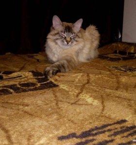 Вязка с Невским Маскарадным котиком