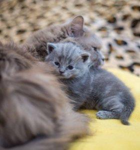 фото шотландского и британского кота