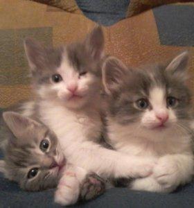 отдам в добрые руки котят (2 мальчика и 1 девочка)
