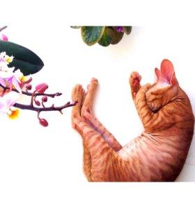 Котик сфинкс ищет кошечку