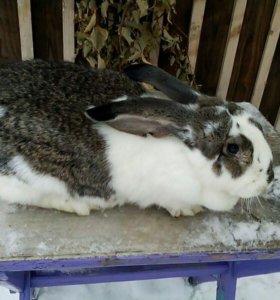 Продаю кроликов мясных пород