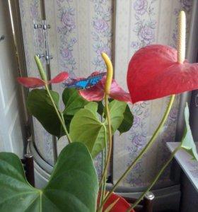 Цветок любви (цветок фламинго)-Антуриум.