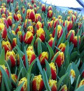 Тюльпаны к 8 марта из теплицы