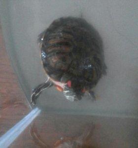Черепаха красноухая с аквариумом