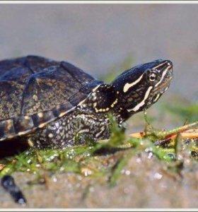 Мускусныe черепахи 2 шт
