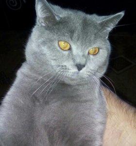 Вязка. Кот опытный.