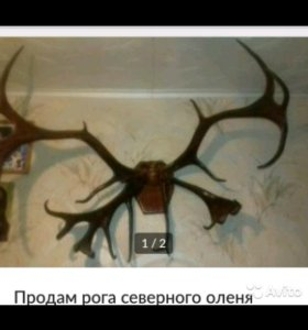 Рога северного оленя